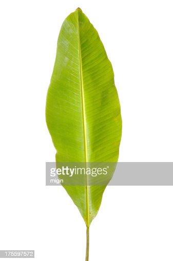 One banana leaf isolated on white background
