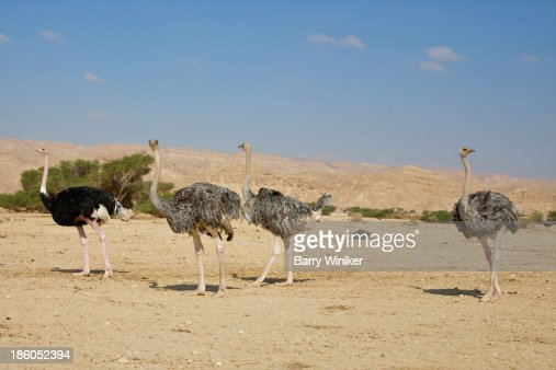 One black, three grey ostrich moving in desert