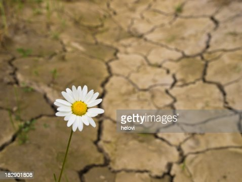 One daisy in cracked earth