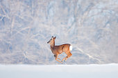One deer running on snow over the forest background