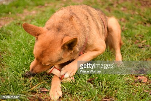 One Dog Chewing Eating a Bone Treat : Stock Photo