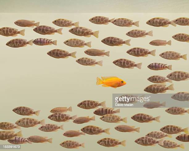 One fish swimming in opposite direction to school
