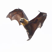 Close up of a grey headed flying fox. It is flying, but appears to be hanging in mid air. Shot taken in Yarra Bend Park in Melbourne, Australia.