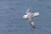 One Fulmar glide on the wind along a cliff on the Shetland Islands