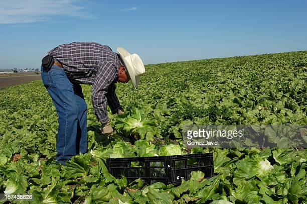 1 つの帽子を着用ラティノレタスフィールドで作業する男性
