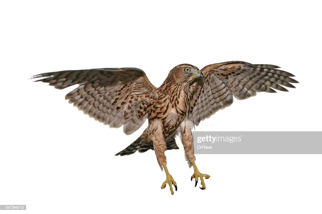 One hawk that is caught mid flight with a white background