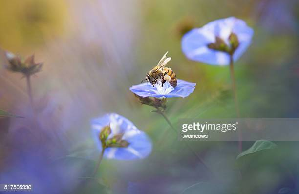 One honey bee stop on morning glory flower on soft blurred background.
