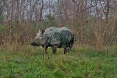 One horned Indian rhino