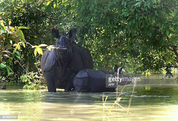 A one horned rhinoceros and calf stand in floodwaters at The Pobitora Wildlife Sanctuary some 55 kms east of Guwahati on September 5 2008 Floodwaters...