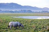 One horned rhinoceros in Kaziranga National Park - Assam, India
