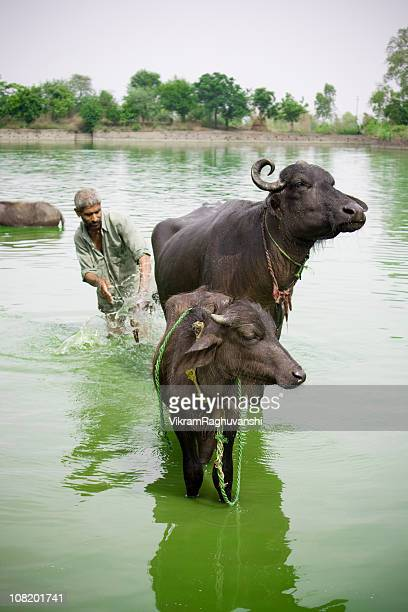 One Indian Man giving bath to his Domestic Cattle