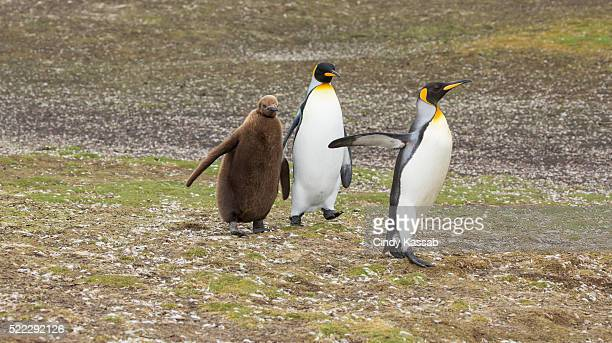 One King Penguin Family Walking Along a Field Volunteer Point in the Falklands