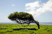 One lone windblown tree