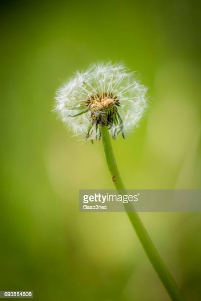 One lonely dandelion with seeds