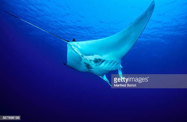 One Manta in blue water of the Red Sea