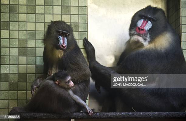 One monthold baby mandrill Aron clings to his mother 14yearold Sandra as father 19yearold Albert looks on in their cage at Berlin's Zoologischer...