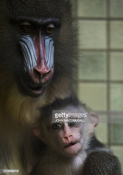 One monthold baby mandrill Aron clings to his mother Sandra in their cage at Berlin's Zoologischer Garten zoo on September 28 2012 The mandrill is a...