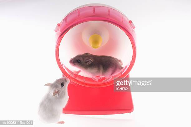 One mouse running in wheel, other watching