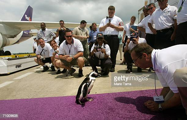 One of 19 penguins rescued along with two sea otters in the aftermath of Hurricane Katrina walks on the tarmac after returning to New Orleans...