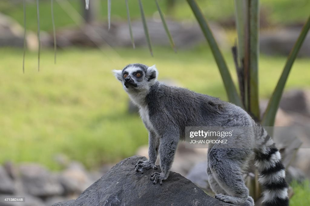 One of a group of seven ring-tailed lemurs (Lemur catta) donated by the zoo of Santiago, Chile, is seen at the Aurora zoo in Guatemala City on April 27, 2015. AFP PHOTO / Johan ORDONEZ