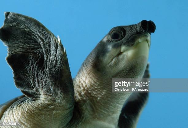 One of a group of six rare baby pignosed turtles gets used to its temporary surroundings after arriving at the Blue Reef Aquarium in Portsmouth where...