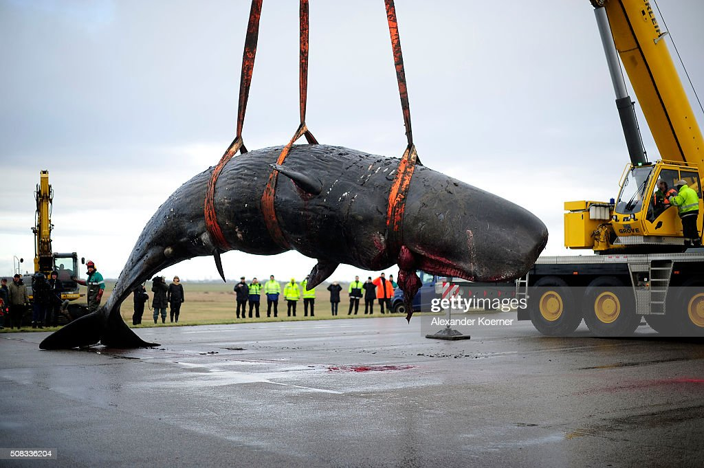 One of a total of eight sperm whales that have washed up dead on the mud flats shore is offloaded from a lorry prior an examination of members of the University of Veterinary Medicine Hannover on February 4, 2016 near Dithmarschen, Germany. The corpses of sperm whales have been washing up on the North Sea shores of Germany, Holland and Great Britain in recent weeks and scientists are so far uncertain as to the cause. One cadaver dissected in Germany showed the whale had nearly no food in its stomach, suggesting the whale had gotten lost and starved to death.