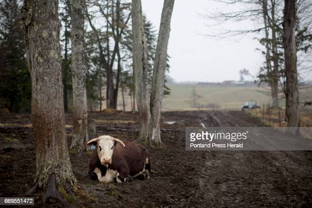 One of Arthur Randall's cows on his land near the Westbrook Portland line Randall has been grazing his cattle for 35 years during the summers on land...