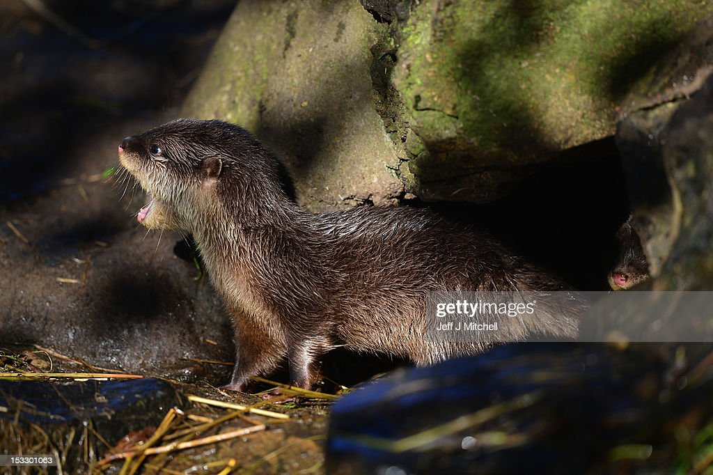 One of Edinburgh Zoo's short clawed otter pups calls out from the hide in the enclosure on October 3, 2012 in Edinburgh,Scotland. The five otters are from the smallest otter species in the world and the pups born to mum Elena and Dad Ray are around 10 weeks old now, and are their third litter since arriving at the zoo. A native to Southeast Asia, this particular otter will weigh just 3.5kg when fully grown. These water loving animals are known for their extremely agile, hand-like front paws that are complete with short claws giving these otters their name. Using these dexterous paws they can easily tackle a variety of prey, including crabs, snails, molluscs, small fish and insects. Like other otter species they use their strong rudder-like tail to navigate and propel them through the water.