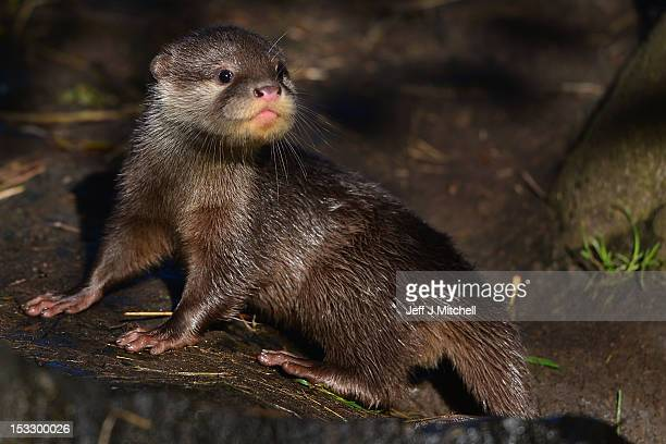 One of Edinburgh Zoo's short clawed otter pups ventures out in their enclosure on October 3 2012 in EdinburghScotland The five otters are from the...