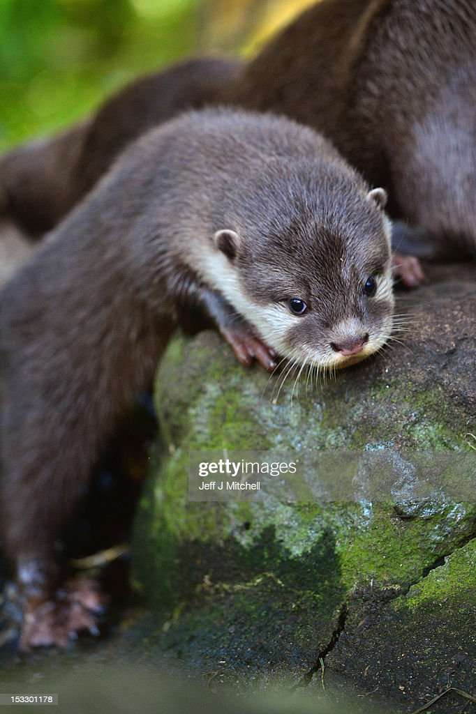 One of Edinburgh Zoo's short clawed otter pups ventures out in their enclosure on October 3, 2012 in Edinburgh,Scotland. The five otters are from the smallest otter species in the world and the pups born to mum Elena and Dad Ray are around 10 weeks old now, and are their third litter since arriving at the zoo. A native to Southeast Asia, this particular otter will weigh just 3.5kg when fully grown. These water loving animals are known for their extremely agile, hand-like front paws that are complete with short claws giving these otters their name. Using these dexterous paws they can easily tackle a variety of prey, including crabs, snails, molluscs, small fish and insects. Like other otter species they use their strong rudder-like tail to navigate and propel them through the water.