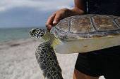 One of five rehabilitated juvenile green sea turtles is carried to the ocean for a release into the Florida waters by Miami Seaquarium animal care...