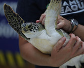 One of five rehabilitated juvenile green sea turtles is prepared to be released into the ocean by Miami Seaquarium animal care personnel on July 13...