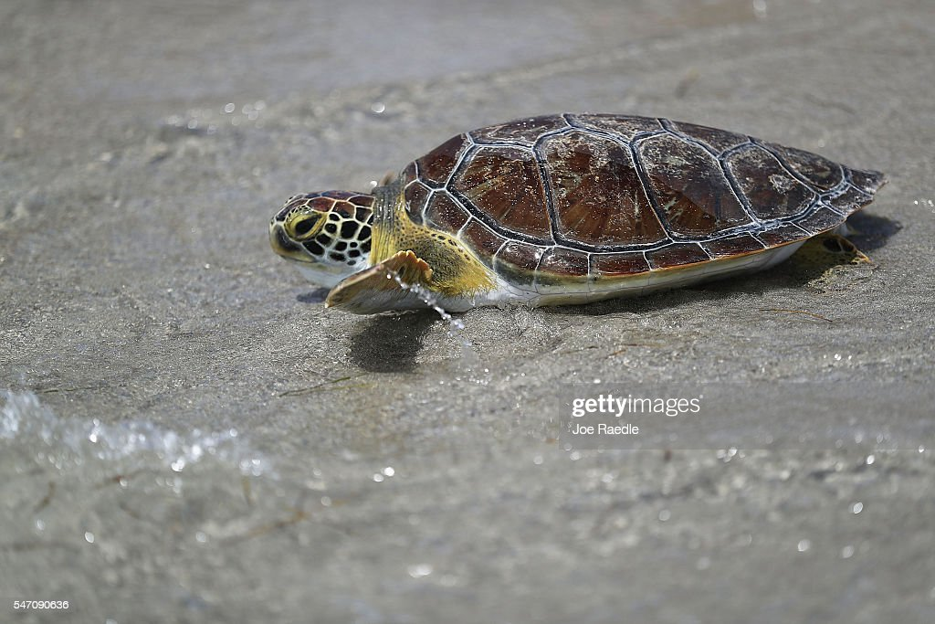 One of five rehabilitated juvenile green sea turtles makes its way to the ocean after being released into the Florida waters by Miami Seaquarium...