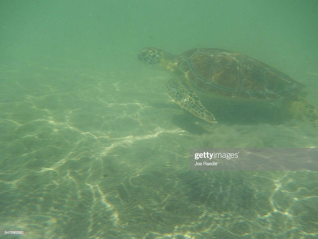 One of five rehabilitated juvenile green sea turtles swims away after being released into the Florida waters by Miami Seaquarium animal care...