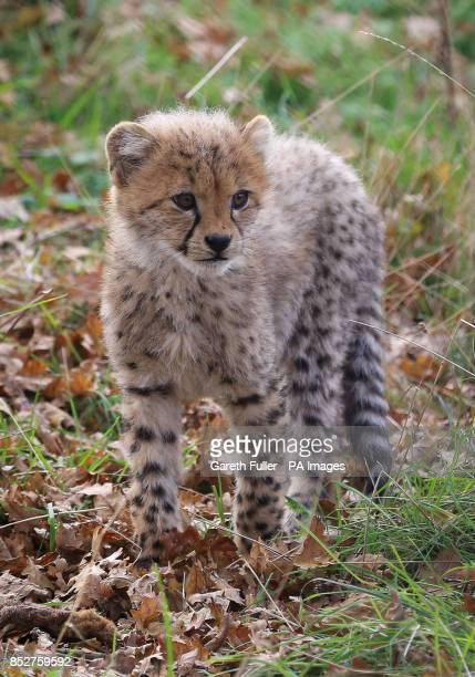 One of four as yet unnamed Southern Cheetah cubs explores their enclosure as they make their public debut at Port Lympne Wild Animal Park near...