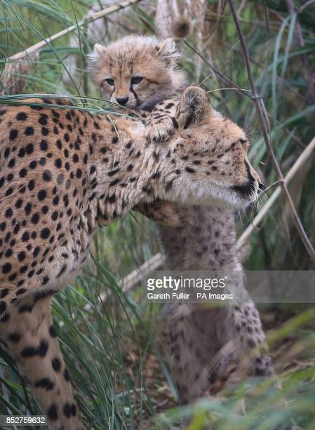 One of four as yet unnamed Southern Cheetah cubs plays with mother Izzy in their enclosure as they make their public debut at Port Lympne Wild Animal...