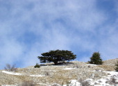 One of Lebanon's cedar trees stands on a mountain in the Shouf nature reserve in Lebanon on March 19 2008 Global warming has reduced the amount of...
