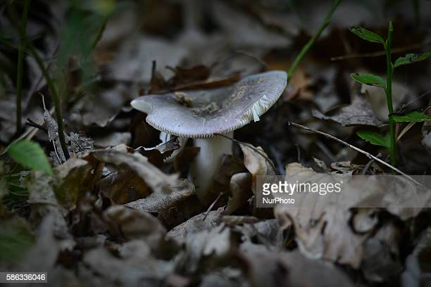 One of many mushrooms species that can be seen in 'Bor' forest in Krakow Poland on August 5 2016 The nature reserve 'Bor' is located near a small...
