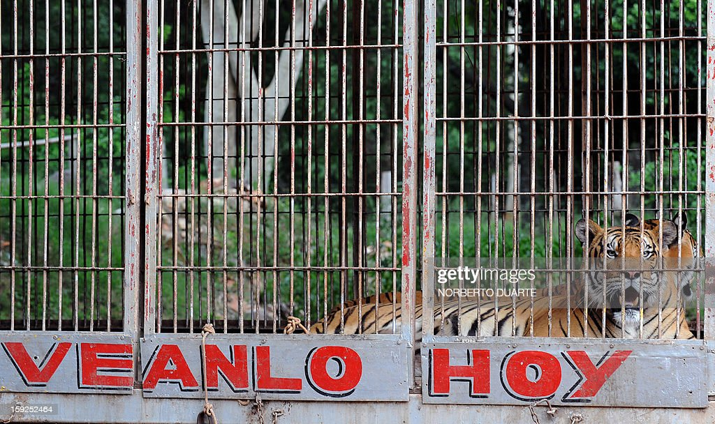 One, of nine, Bengala tigers remains in a cage in a zoo in Asuncion on January 10, 2013. A Paraguayan environmental district attorney ordered the seizure of the nine Bengala tigers and seven African lions from an Argentine circus, which had been taken to the zoo on August 2012, as they had no sanitary visa to legally enter the country. AFP PHOTO/Norberto Duarte