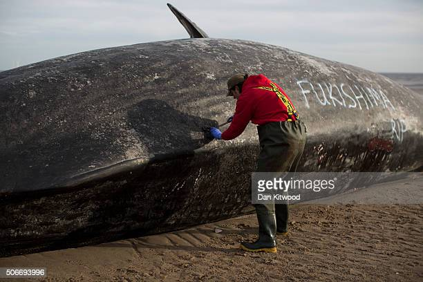 One of one of the three Sperm Whales which were found washed ashore near Skegness over the weekend is disected by members of the UK Cetacean...
