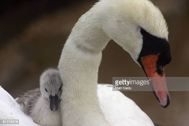 One of record number of cygnets that has been born at Abbotsbury Swannery which was hit with bird flu earlier this year cuddles up to its mother in...