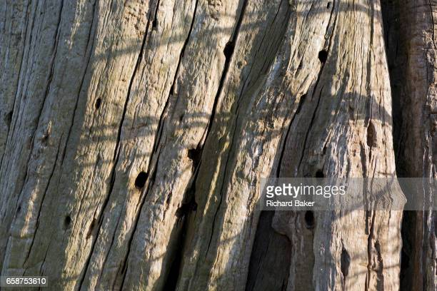 One of scarred Chestnut trees remains of a wood on the Waterloo battlefield where French troops died in their thousands outside the walls of...