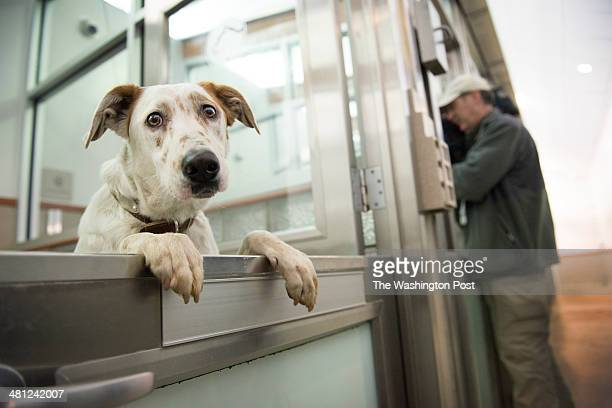 One of ten dogs rescued from the streets of Sochi Russia during the winter olympics looks at photographers from its new home at Washington Animal...