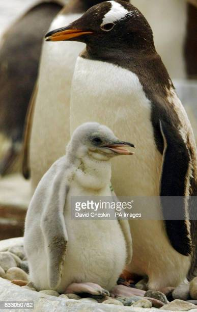 One of the 22 new Gentoo penguin chicks that have hatched over the last few weeks at Edinburgh zoo