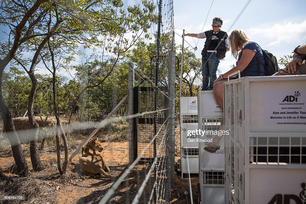 One of the 33 Lions enjoys her new enclosure at the Emoya 'Big Cat Sanctuary' on May 1, 2016 in Vaalwater, South Africa. A total of 33 former circus Lions, 22 males and 11 females from Peru and Columbia were airlifted to South Africa yesterday, before being released today to live out their lives on the private reserve in the Limpopo Province. 24 of the animals were rescued in raids on circuses operating in Peru, with the rest voluntarily surrendered by a circus in Colombia after Colombias Congress passed a bill prohibiting circuses from using wild animals. The trip has been coordinated by the animal rights group 'Animal Defenders International'. The animals have been released into small open areas with natural vegetation, something that many of the animals have never experienced before.