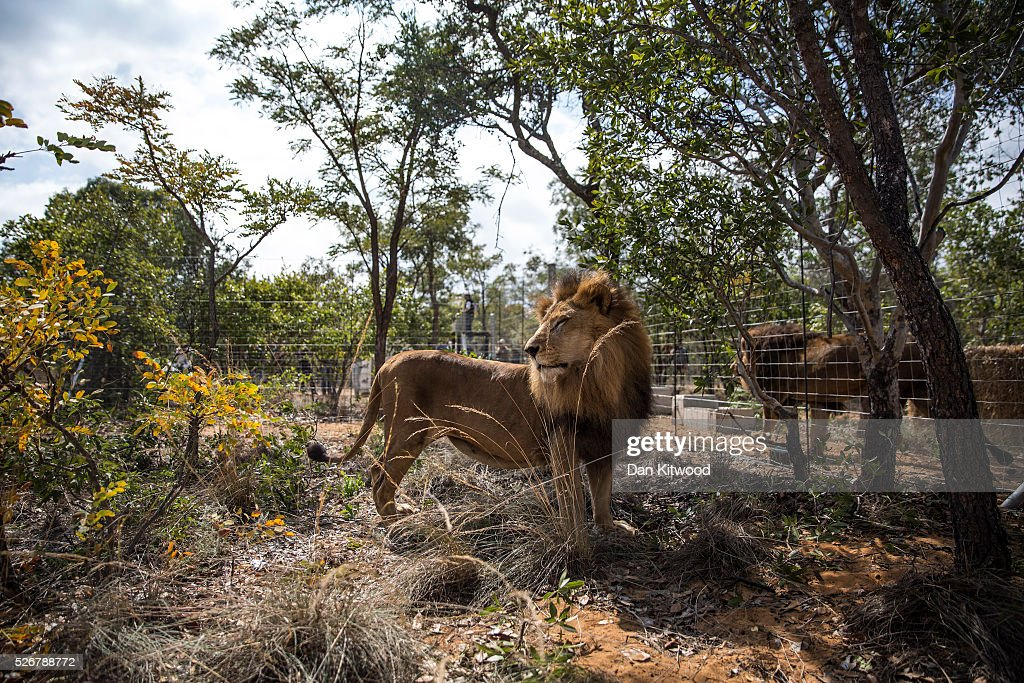 One of the 33 Lions enjoys his new enclosure at the Emoya Big Cat Sanctuary', on May 01, 2016 in Vaalwater, South Africa. A total of 33 former circus Lions, 22 males and 11 females from Peru and Columbia were airlifted to South Africa yesterday, before being released today to live out their lives on the private reserve in the Limpopo Province. 24 of the animals were rescued in raids on circuses operating in Peru, with the rest voluntarily surrendered by a circus in Colombia after Colombias Congress passed a bill prohibiting circuses from using wild animals. The trip has been coordinated by the animal rights group 'Animal Defenders International. The animals have been released into small open areas with natural vegetation, something that many of the animals have never experienced before.