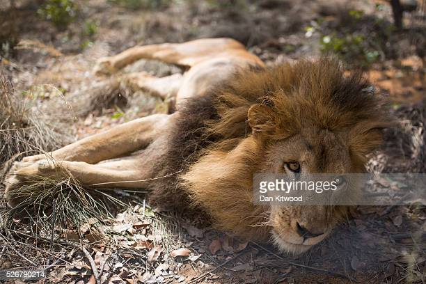 One of the 33 Lions enjoys his new enclosure at the Emoya Big Cat Sanctuary' on May 01 2016 in Vaalwater South Africa A total of 33 former circus...