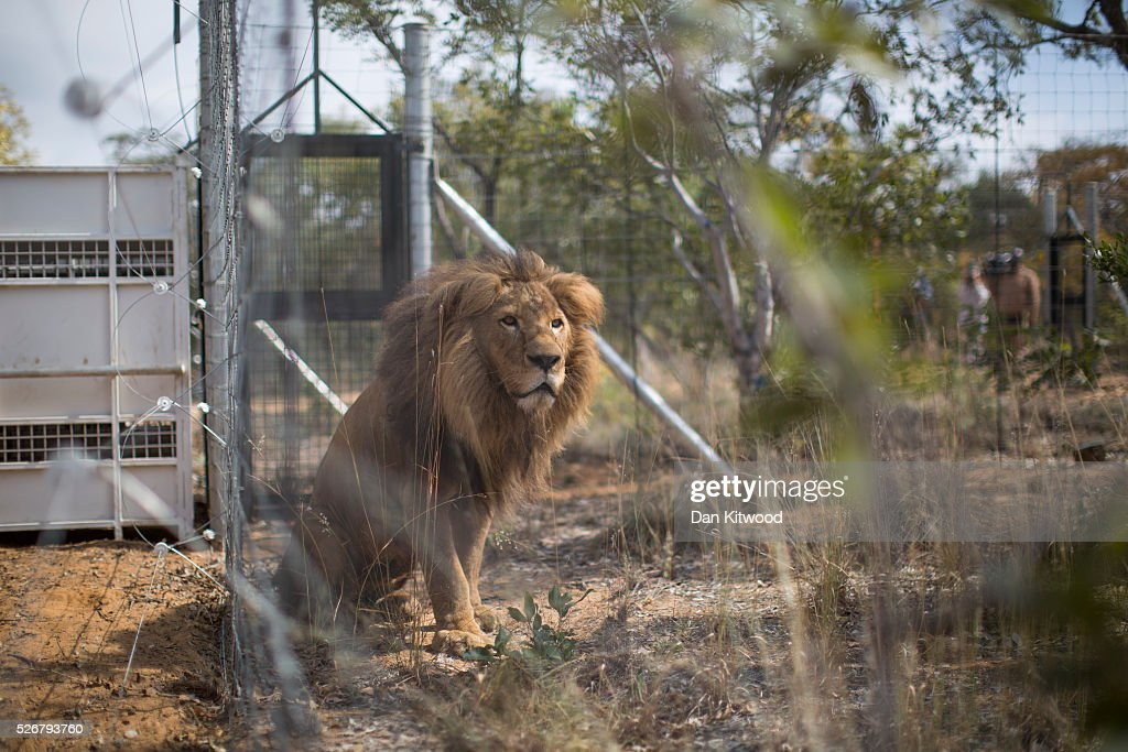 One of the 33 Lions enjoys his new enclosure at the Emoya 'Big Cat Sanctuary' on May 1, 2016 in Vaalwater, South Africa. A total of 33 former circus Lions, 22 males and 11 females from Peru and Columbia were airlifted to South Africa yesterday, before being released today to live out their lives on the private reserve in the Limpopo Province. 24 of the animals were rescued in raids on circuses operating in Peru, with the rest voluntarily surrendered by a circus in Colombia after Colombias Congress passed a bill prohibiting circuses from using wild animals. The trip has been coordinated by the animal rights group 'Animal Defenders International'. The animals have been released into small open areas with natural vegetation, something that many of the animals have never experienced before.