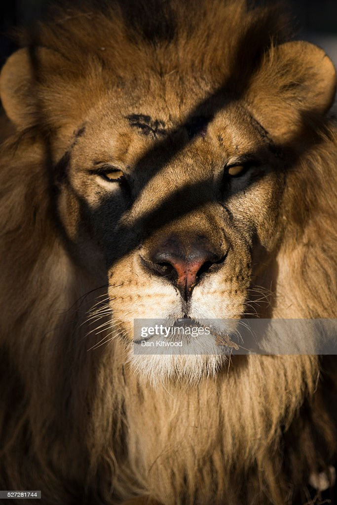 One of the 33 Lions enjoys his new enclosure at the Emoya 'Big Cat Sanctuary' on May 02, 2016 in Vaalwater, South Africa. A total of 33 former circus Lions, 22 males and 11 females from Peru and Columbia were airlifted to South Africa on April 30, before being released yesterday to live out their lives on the private reserve in the Limpopo Province. 24 of the animals were rescued in raids on circuses operating in Peru, with the rest voluntarily surrendered by a circus in Colombia after Colombias Congress passed a bill prohibiting circuses from using wild animals. The trip has been coordinated by the animal rights group 'Animal Defenders International. The animals have been released into small open areas with natural vegetation, something that many of the animals have never experienced before.