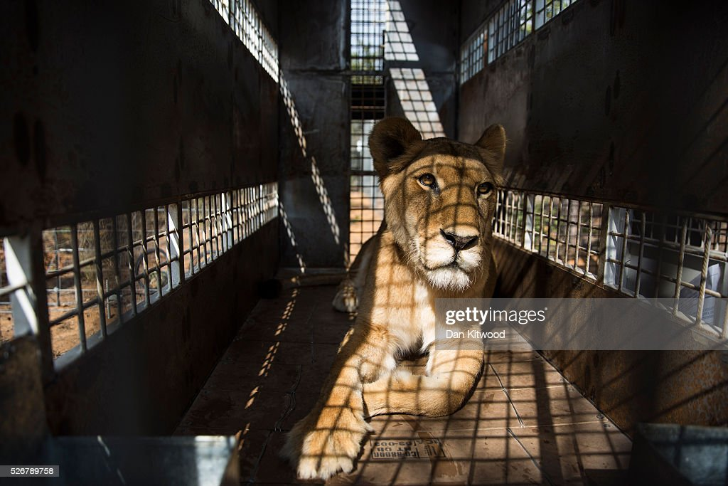 One of the 33 lions is ready for release into it's new enclosure at the Emoya 'Big Cat Sanctuary' on May 1, 2016 in Vaalwater, South Africa. A total of 33 former circus Lions, 22 males and 11 females from Peru and Columbia were airlifted to South Africa yesterday, before being released today to live out their lives on the private reserve in the Limpopo Province. 24 of the animals were rescued in raids on circuses operating in Peru, with the rest voluntarily surrendered by a circus in Colombia after Colombias Congress passed a bill prohibiting circuses from using wild animals. The trip has been coordinated by the animal rights group 'Animal Defenders International'. The animals have been released into small open areas with natural vegetation, something that many of the animals have never experienced before.